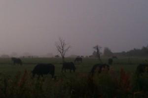 Buffalo in the misty morning
